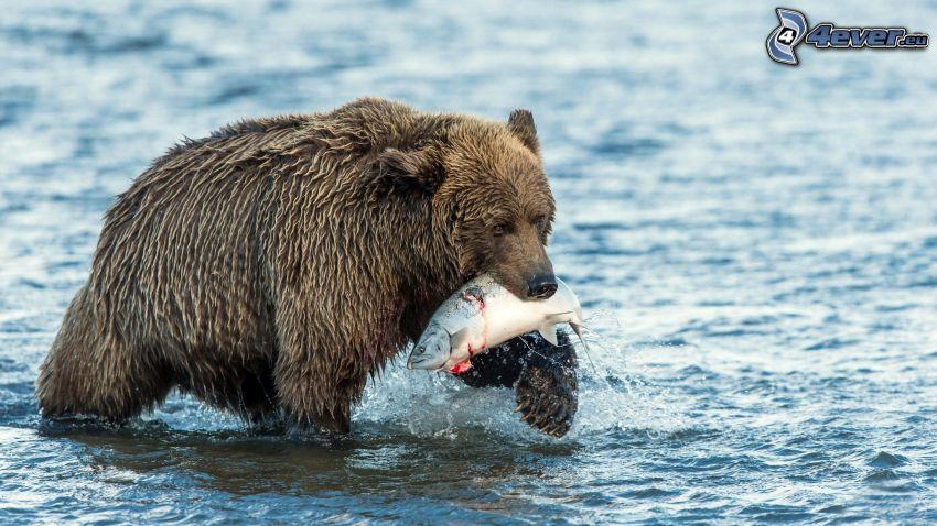brunbjörn, fisk, vatten