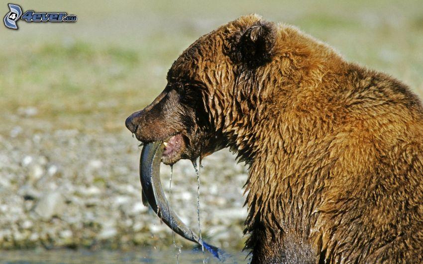 brunbjörn, fisk