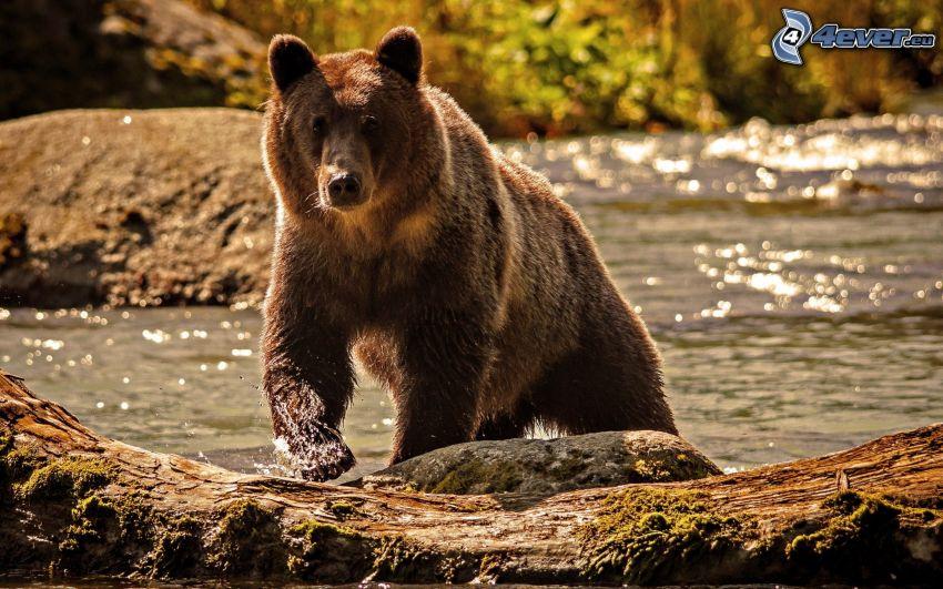 brunbjörn, flod, vildmark