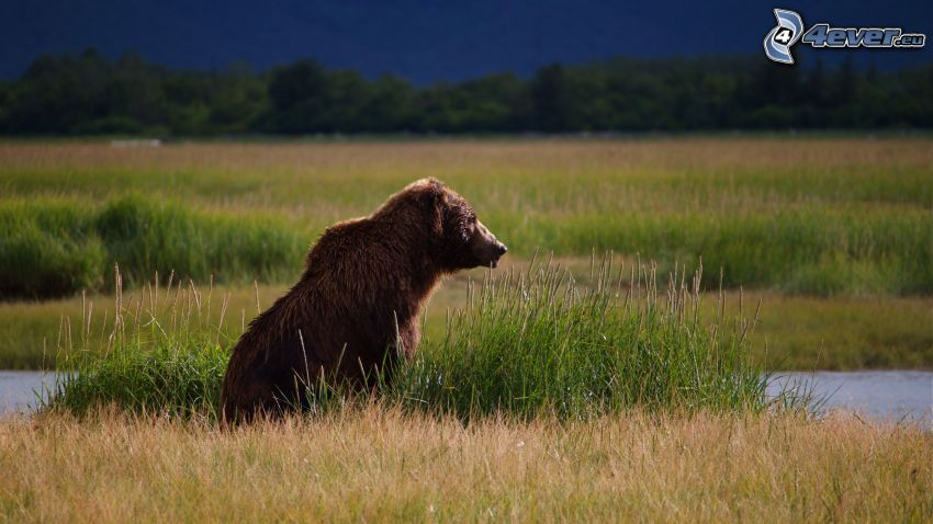 brunbjörn, gräs