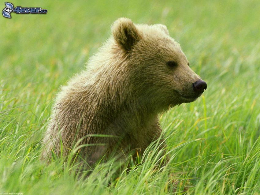 brunbjörn, högt gräs