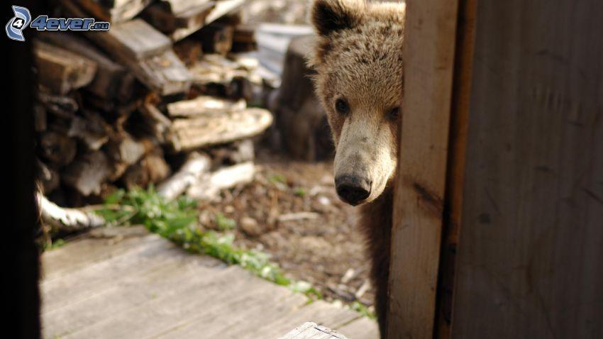 brunbjörn, nos