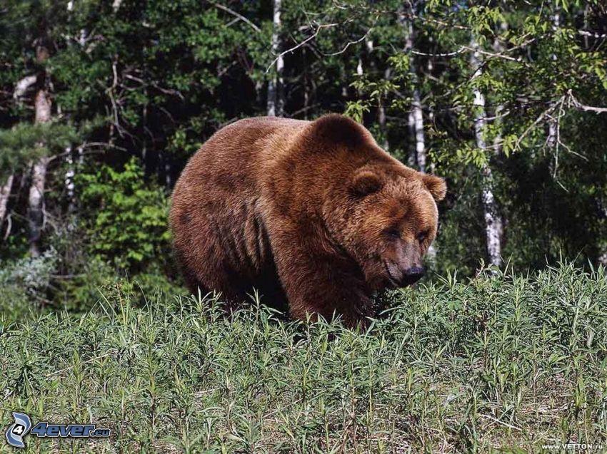 brunbjörn, skog