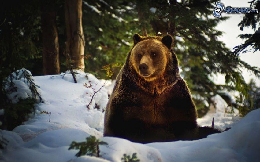 brunbjörn, snö