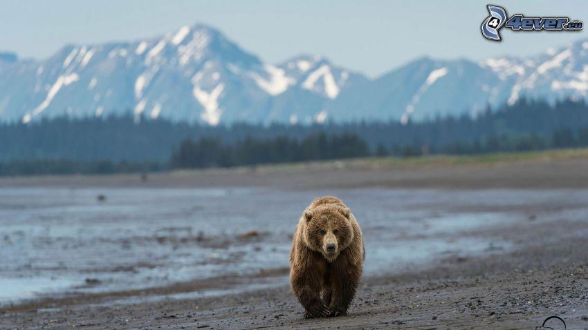brunbjörn, snöklädda berg