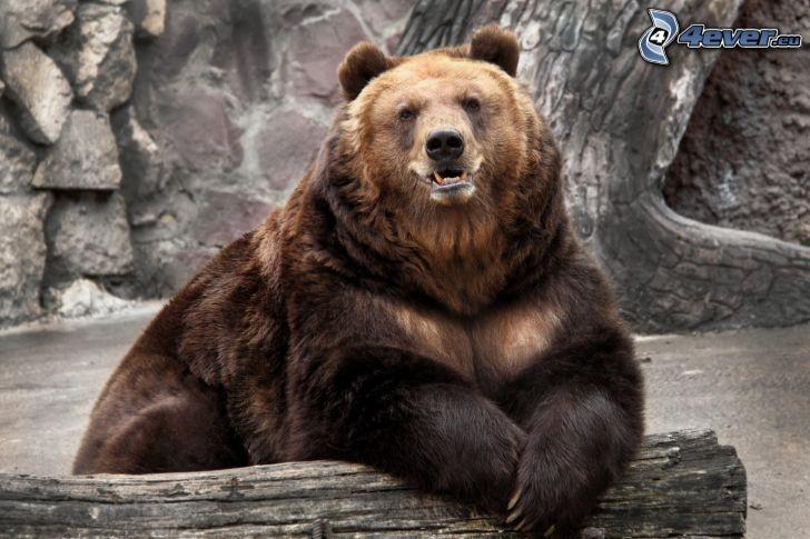 brunbjörn, stam