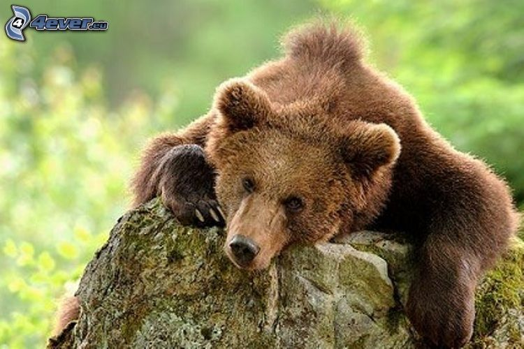 brunbjörn, sten