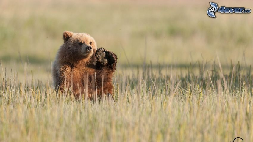 brunbjörn, tass, torrt gräs