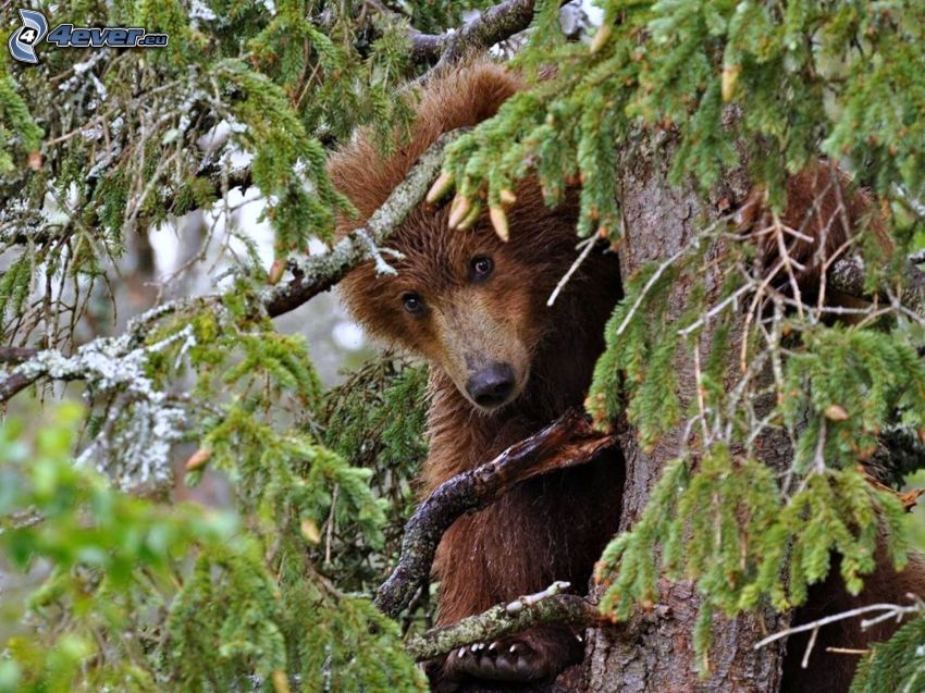 brunbjörn, träd