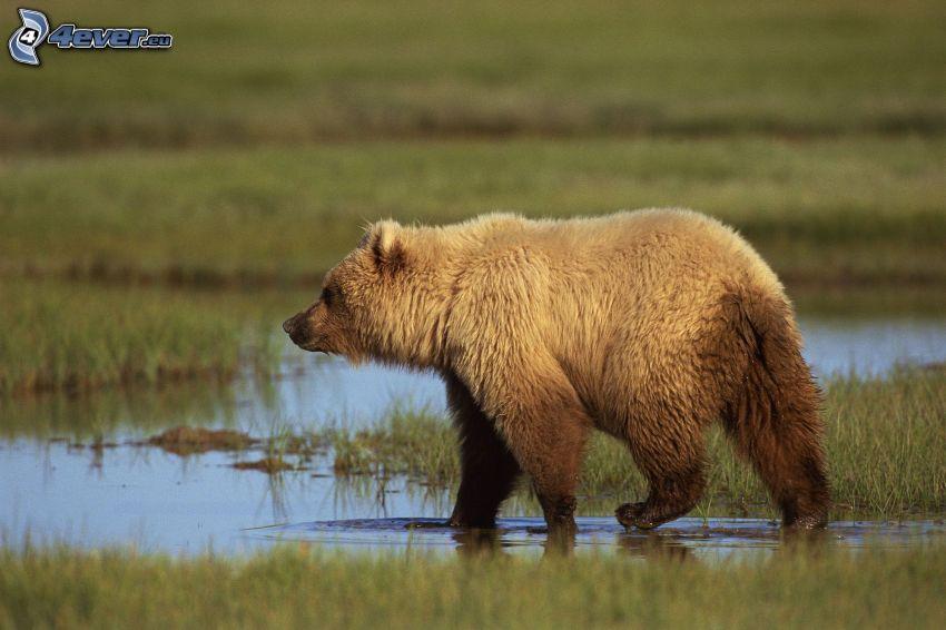 brunbjörn, träsk