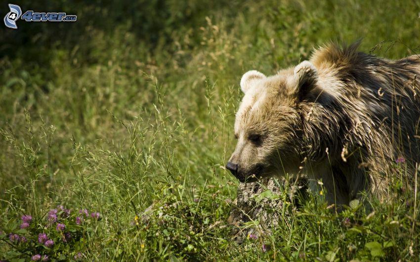 brunbjörn, unge, äng
