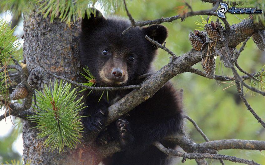 brunbjörn, unge, barrträd