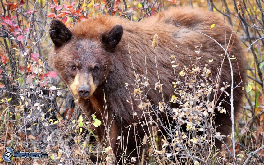 brunbjörn, unge, buskar