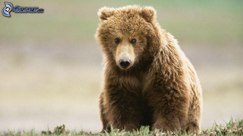 brunbjörn, unge