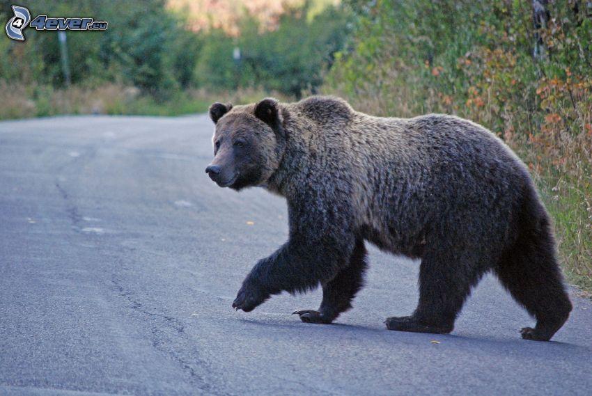 brunbjörn, väg