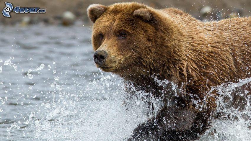 brunbjörn, vatten