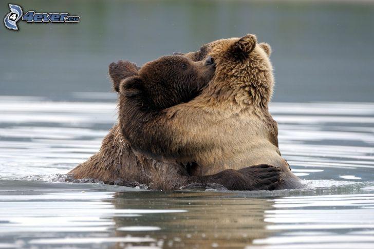 brunbjörnar, kram, vatten