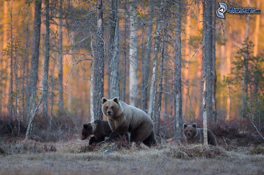 brunbjörnar, skog