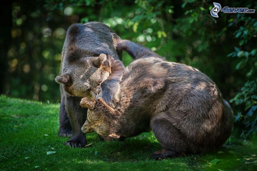 brunbjörnar, spel