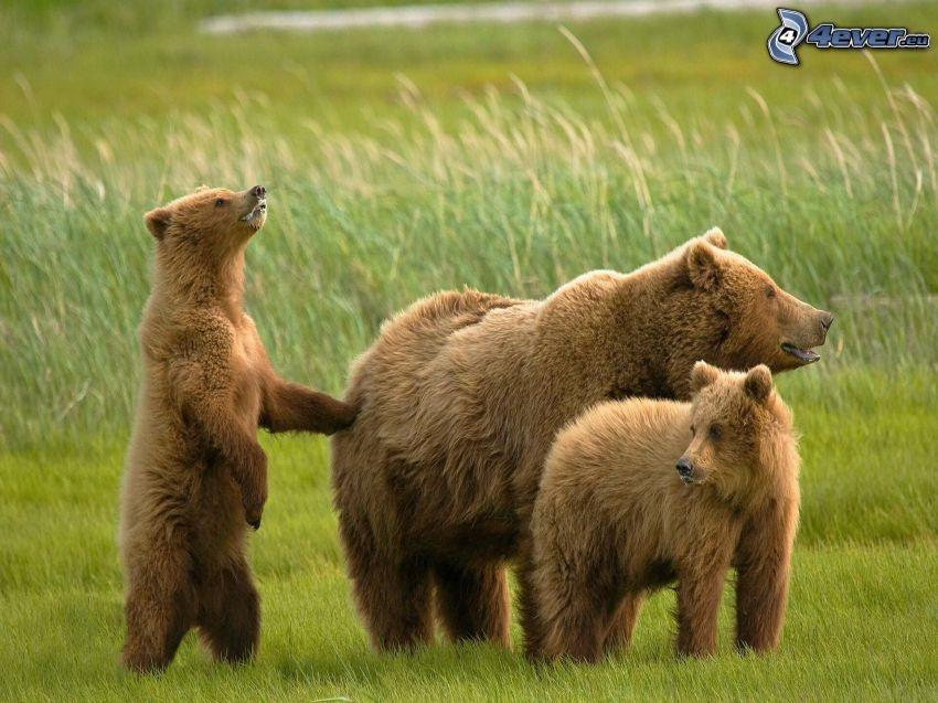 brunbjörnar, ungar, grönt gräs