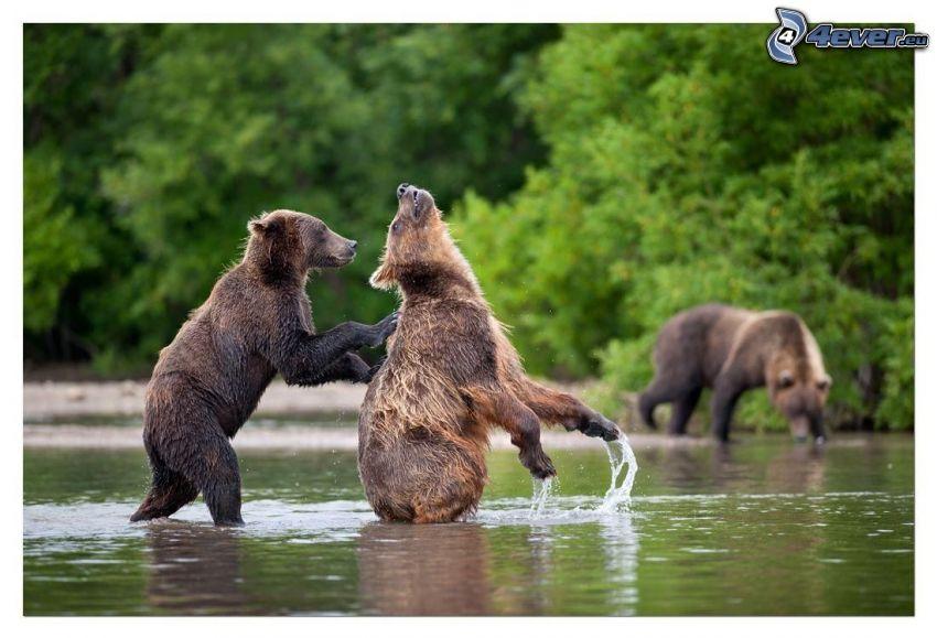 brunbjörnar, ungar, vatten, spel