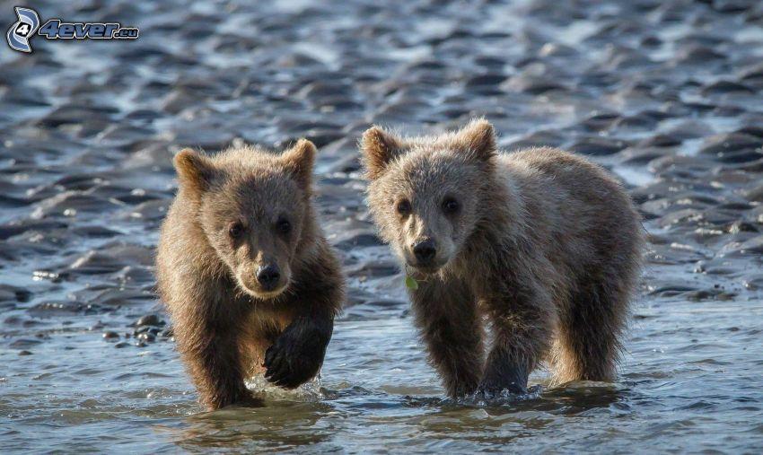 brunbjörnar, ungar, vatten