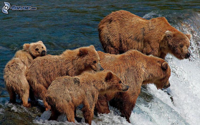 brunbjörnar, ungar, vattenfall