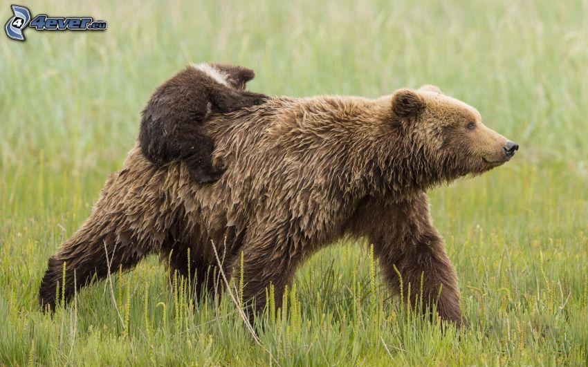 brunbjörnar, unge, gräs