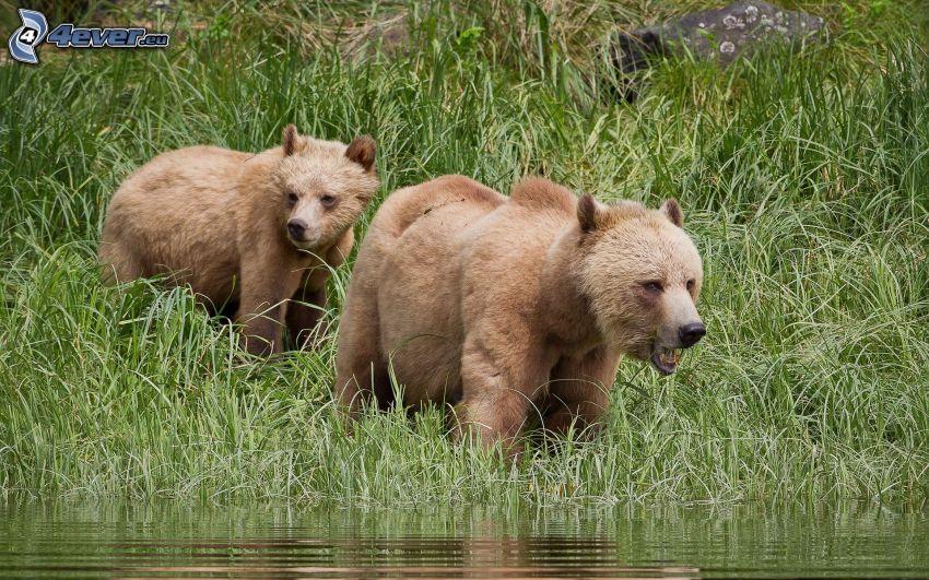 brunbjörnar, unge, grönt gräs, vatten