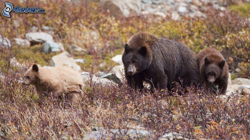 brunbjörnar, unge