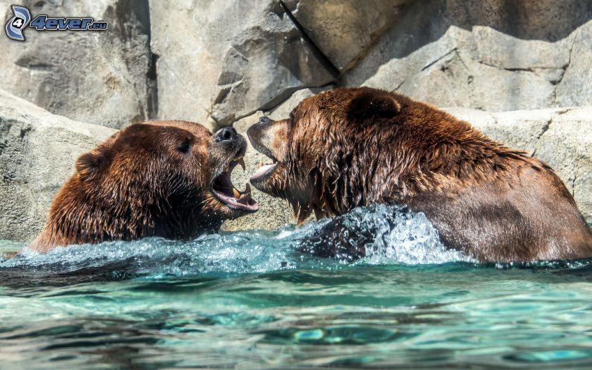 brunbjörnar, vatten, klippa