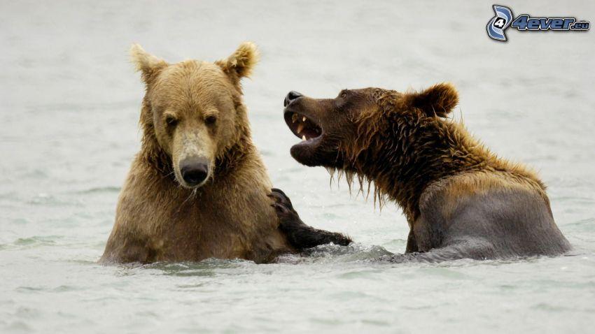 brunbjörnar, vatten