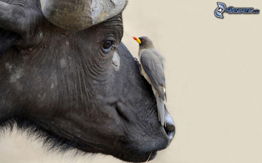 buffel, fågel
