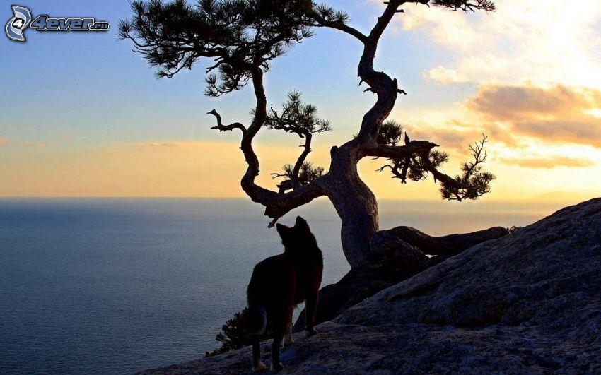 dingo, öppet hav, träd, havsutsikt, efter solnedgången
