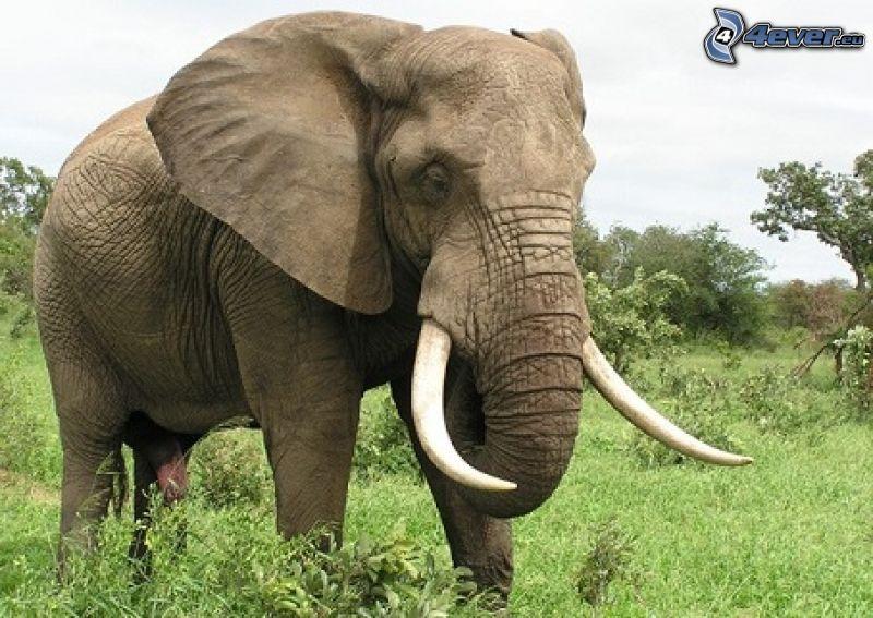 elefant, grönska