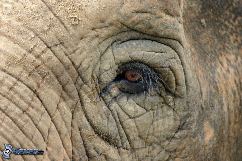 elefant, öga