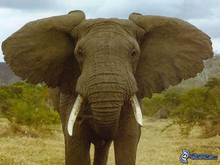 elefant, öron