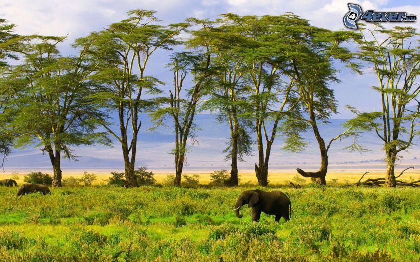 elefant, träd, savann