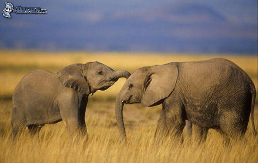 elefanter, åker