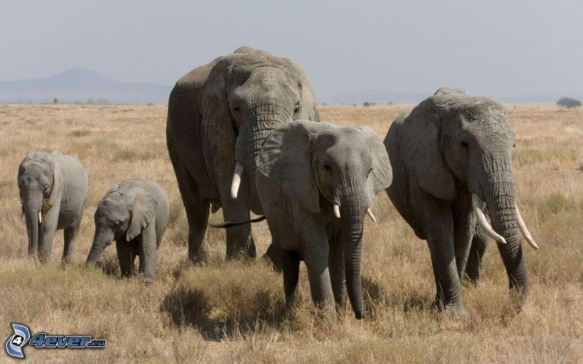 elefanter, elefantkalvar
