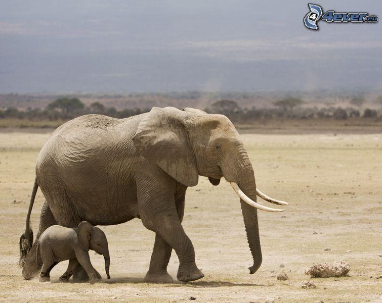 elefanter, elefantunge, savann