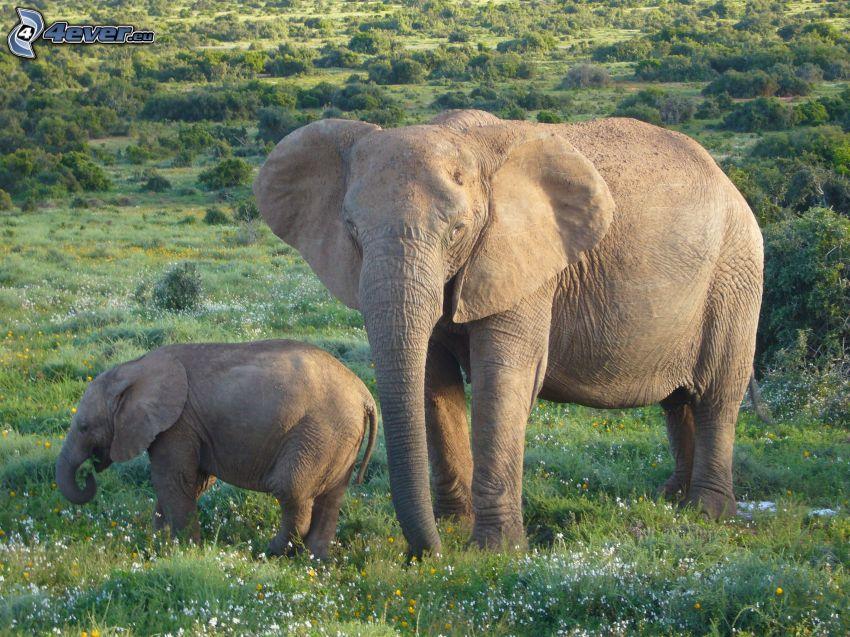 elefanter, elefantunge