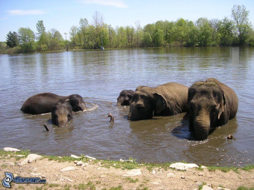 elefanter, flod