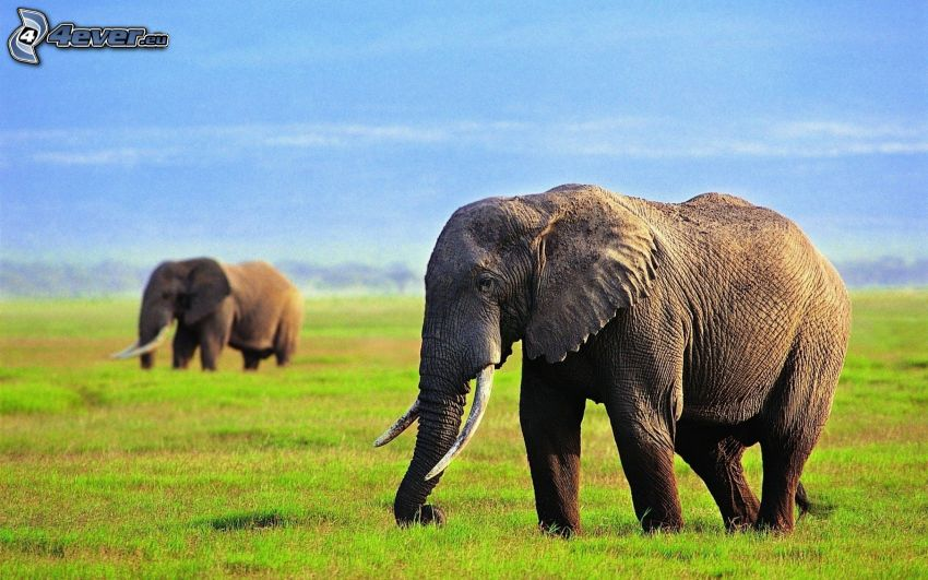 elefanter, gräs