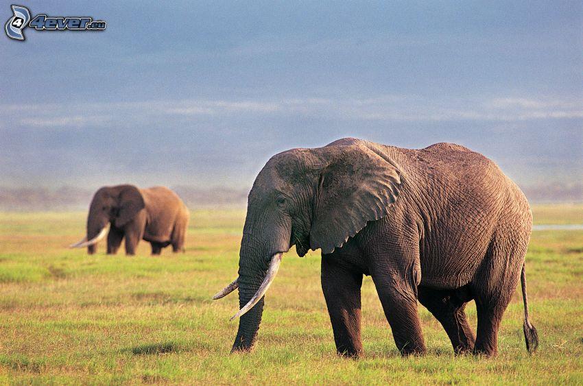 elefanter, savann