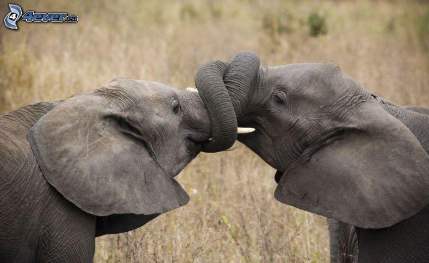 elefanter, snablar