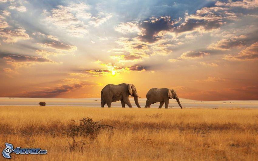 elefanter, solnedgång på savann