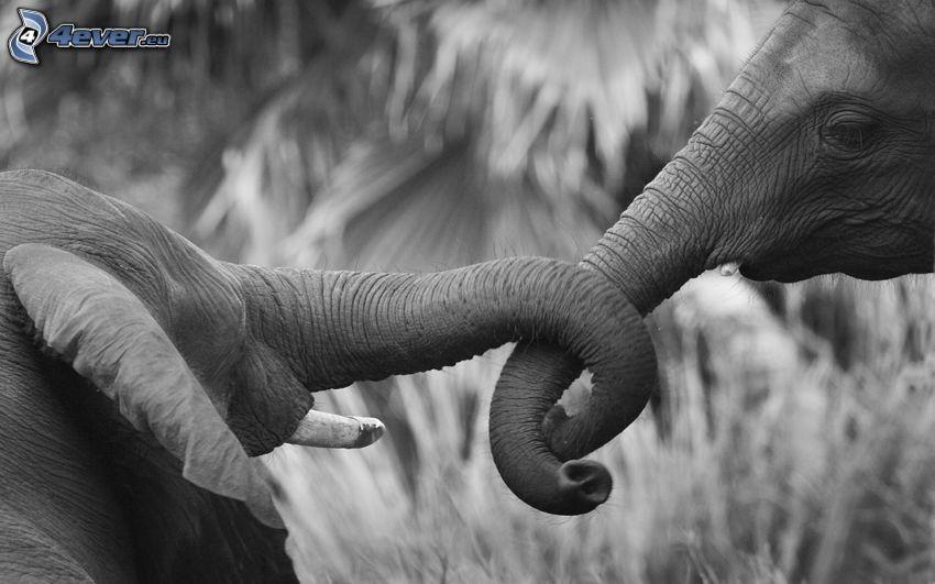 elefanter, svartvitt foto