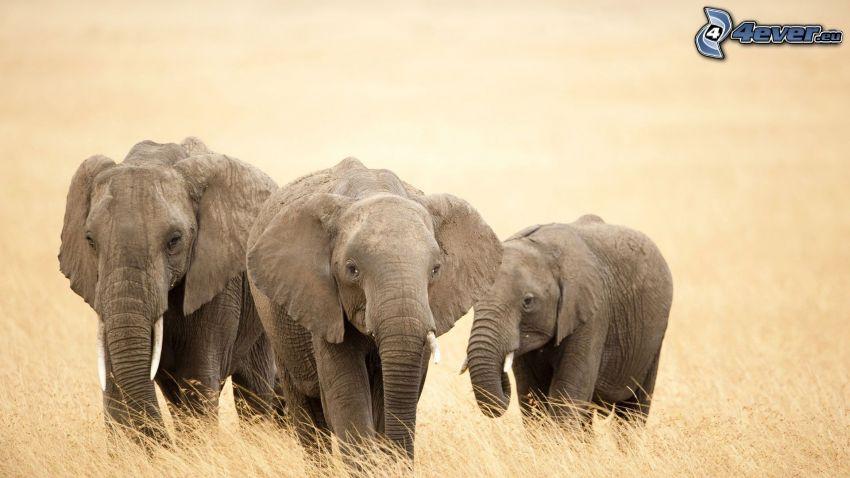 elefanter, torrt gräs