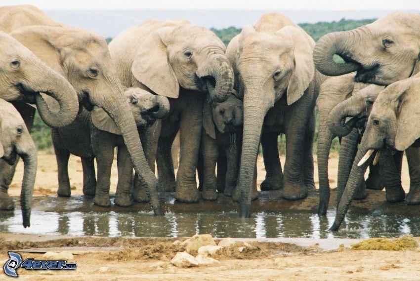 elefanter, vattenpöl